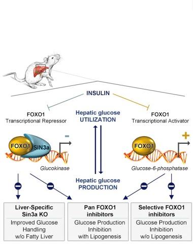 Ces nouvelles molécules améliorent la sensibilité à l'insuline et abaissent la glycémie sans augmenter les niveaux de lipides